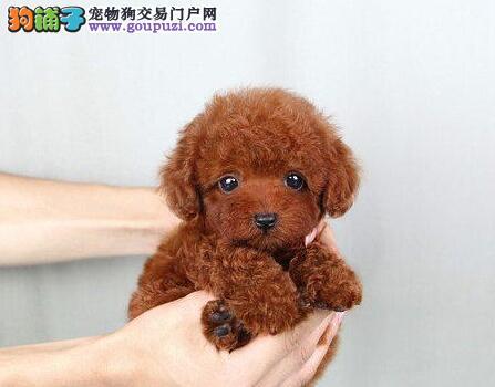 六种颜色齐全的泰迪犬找爸爸妈妈 贵阳市内可免费送货
