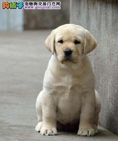 犬舍直销好品相的唐山拉布拉多犬包售后包养活