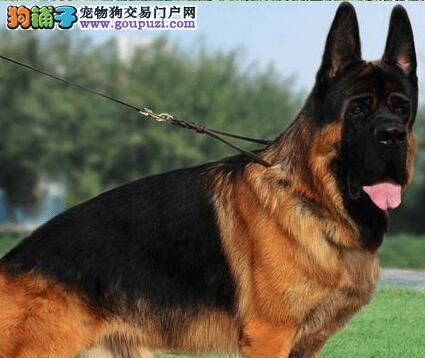 自家犬舍出售大头锤系德国牧羊犬 厦门同城可送狗到家