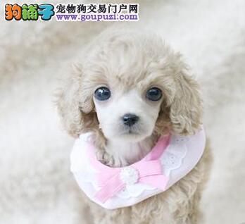 直销价格热卖韩系哈尔滨贵宾犬 冠军级血系保证品质
