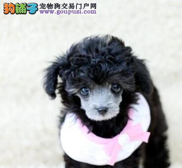 深圳哪里有卖泰迪熊犬 深圳泰迪价格多少