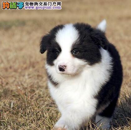 出售七白到位深圳边境牧羊犬 可视频可签订售后协议