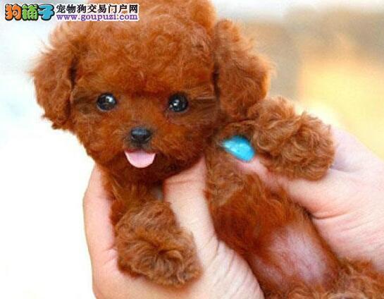 南昌犬舍直销多种颜色的泰迪犬 终身免费售后服务