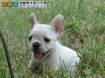 正宗极品杭州法国斗牛犬绝对血统纯正带血统证书签活体协议
