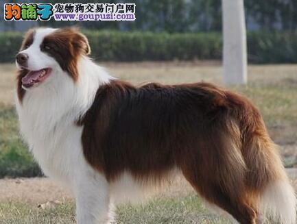自家繁殖边境牧羊犬转让东莞地区购买送狗粮