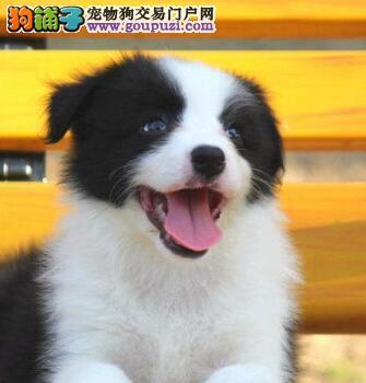 广州哪里有纯种边境牧羊犬广州边境牧羊犬价钱