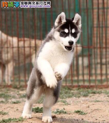 南京正规犬舍出售三把火双蓝颜哈士奇 选择专业请放心