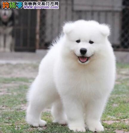 青岛知名犬舍出售多只赛级萨摩耶专业繁殖中心值得信赖