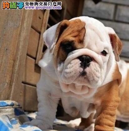 西安大型犬舍直销精品斗牛犬品种齐全花色好
