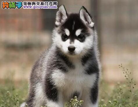 南宁知名犬业出售赛级品质的哈士奇幼犬 狗贩子勿扰