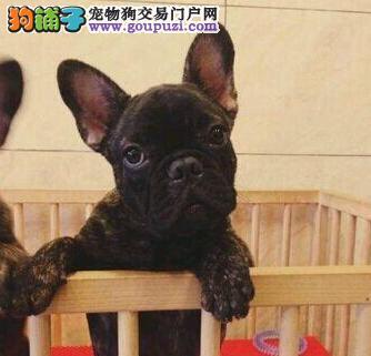 纯种法国斗牛犬直销 专业繁殖宝宝健康 寻找它的主人