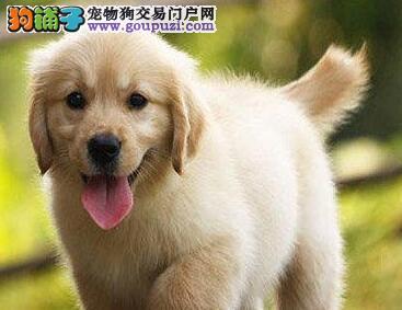 家养极品金毛犬转让广州地区购犬可免费送货