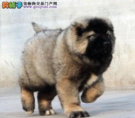 巨型熊版高加索犬石河子出售 高级大型猛犬 服从性极高