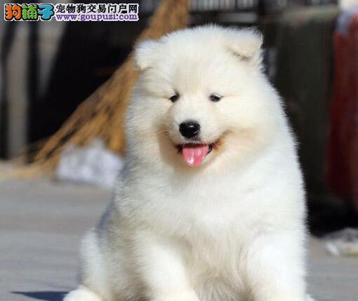赛级品相铜仁萨摩耶幼犬低价出售诚信经营三包终身协议
