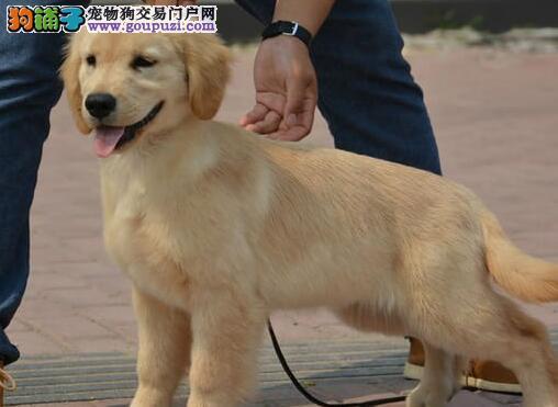 金灿灿的黄金猎犬金毛犬优惠出售 河北市内可免费送货