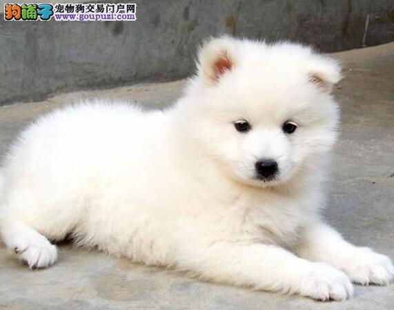 正规狗场犬舍直销萨摩耶幼犬市内免费送货