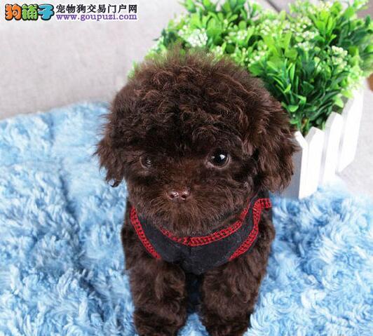 泉州知名犬舍出售多种颜色的泰迪犬 可随时上门看种犬