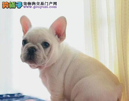 纯血统法国斗牛犬幼犬、可看狗狗父母照片、质保健康90天