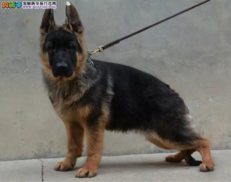 养殖基地常年出售精品德牧幼犬