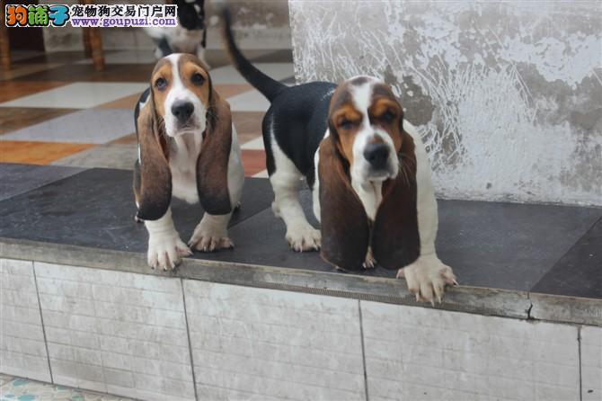 大耳朵巴吉度 高品质巴吉度幼犬多条可选 可视频