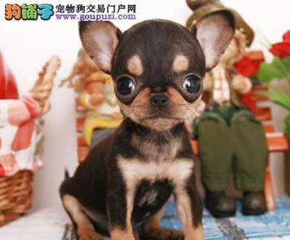 直销价格出售纯种墨西哥血统吉娃娃 上海地区有实体店