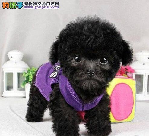 泰迪犬渭南CKU认证犬舍自繁自销微信咨询看狗
