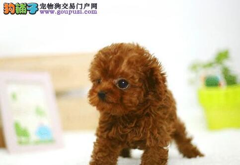 出售自家繁殖的济南泰迪犬 疫苗驱虫做齐 保健康售后