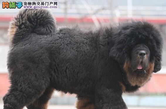 重庆大型犬舍低价热卖极品藏獒赛级品质保障