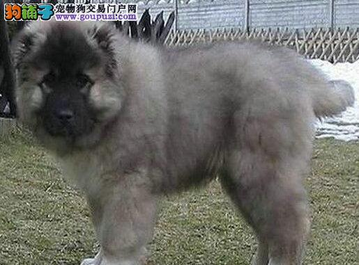 兰州当地狗场出售俄系高加索犬 可刷卡可直接送狗到家