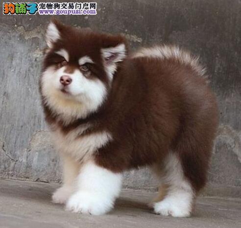 淄博知名犬舍出售巨型阿拉斯加幼犬 签协议质保三年