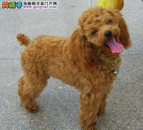 淄博实体狗场出售高品质贵宾犬 聪明可爱人见人爱