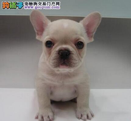 纯种法国斗牛犬 法斗幼犬哪里有出售 林氏宠物狗犬舍