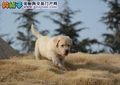 转让肌肉饱满身材健硕的南宁拉布拉多犬 狗贩子勿扰