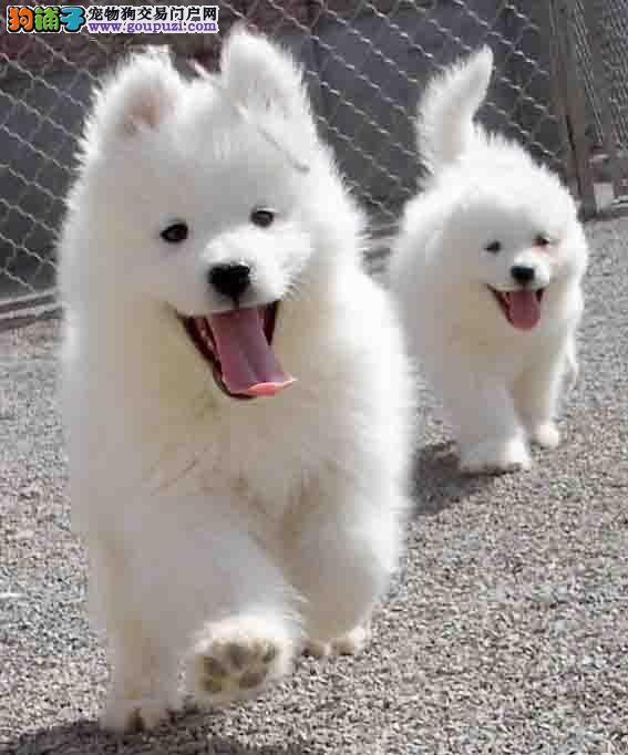北京专业犬舍热销澳版萨摩耶 有问题可包邮退换保障好