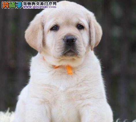 赛级品相通化拉布拉多幼犬低价出售包售后包退换