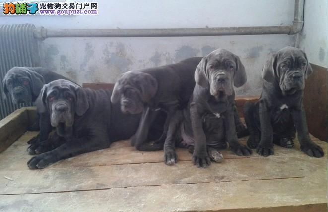 纯种健康的纽波利顿幼犬多条可选