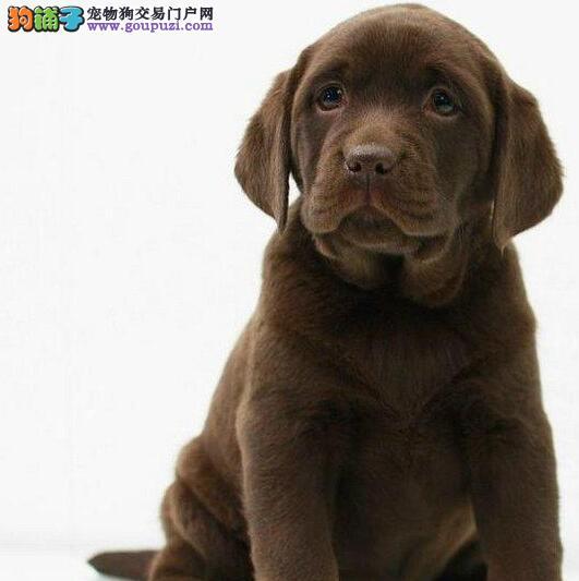 长春顶级纯种拉布拉多导盲犬热销 选择专业选择放心