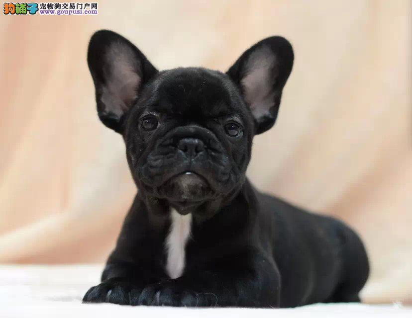 定西出售法国斗牛犬颜色齐全公母都有真实照片包纯