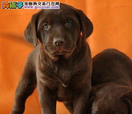 热销武汉拉布拉多犬纯种冠军级血系 已做好疫苗驱虫
