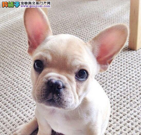 法国斗牛犬幼犬热销中,金牌店铺品质第一,喜欢加微信