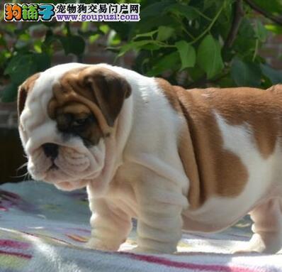犬舍直销品种纯正健康南京英国斗牛犬可签合同刷卡
