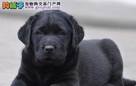 大头宽嘴福州拉布拉多犬低价转让 可签订售后保证书