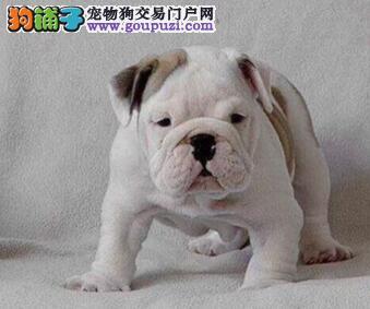 可爱优质深圳斗牛犬狗场热卖中 终身质保有问题可退换