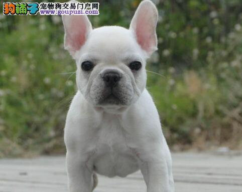 顶级优秀的纯种南昌法国斗牛犬热销中微信视频看狗