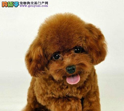赛级泰迪犬宝宝、一宠一证证件齐全、可送货上门