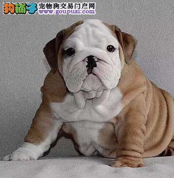 杭州大型狗场出售花色好的斗牛犬完美品相