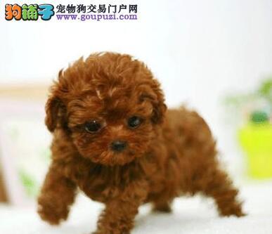 自家繁殖多只太原泰迪犬促销多个颜色品相好