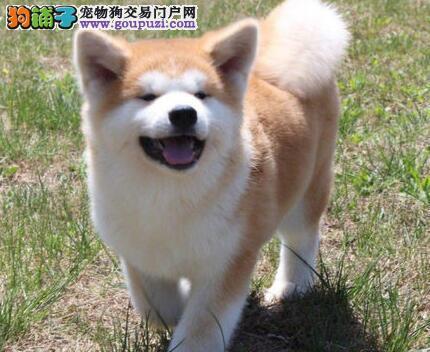 铜川实体店低价促销赛级秋田犬幼犬期待来电咨询