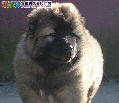 犬场直销猛犬精品高加索幼犬 保纯种 保健康