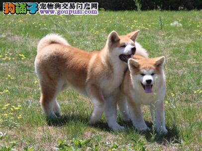 出售长春秋田犬专业缔造完美品质保障品质一流专业售后